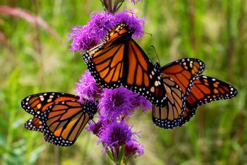 Three Monarchs at once in Deuel County.