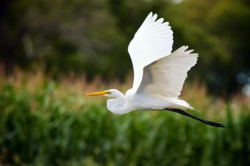 I startled this great egret in a roadside slough in Clark County.