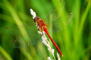 A red dragonfly resting in a patch of tall grass in Deuel County.