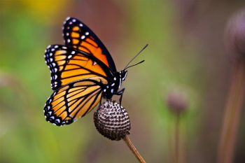Viceroy Butterfly at Lake Alvin Recreation Area.