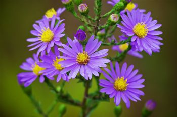 Prairie Aster in bloom, a harbinger of summer's end.