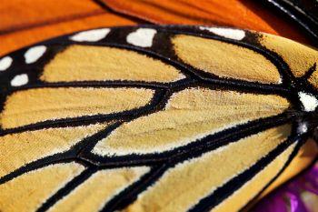 Macro photo of the Monarch's wings.