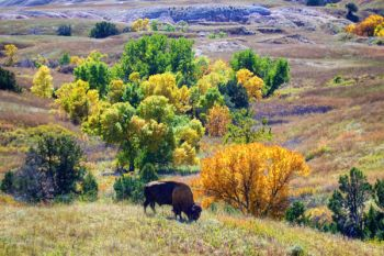 A lone bull bison grazing just above a colorful draw of Sage Creek Wilderness.