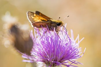 A late season skipper dining on the year's last thistle bloom among the hills of Hartford Beach State Park.
