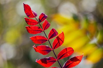 Vibrant sumac along the trail at Hartford Beach State Park.