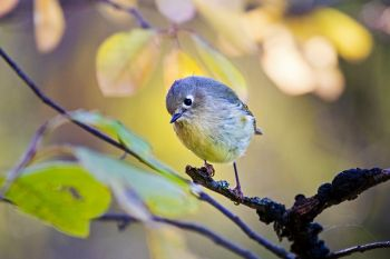 A ruby-crowned kinglet amongst the autumn foliage at Newton Hills State Park.