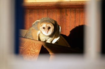 A barn owl in an abandoned building found in Fall River County.