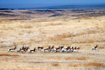 Running pronghorn over the prairies lightly dusted with snow in southern Harding County.