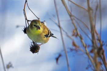 Goldfinch at Sioux Falls Outdoor Campus.