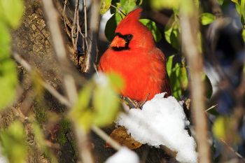 Northern Cardinal eating/drinking the melting snow in some bushes at Sioux Falls Outdoor Campus.
