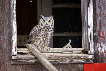 Great Horned Owl in an abandoned building in western Stanley County.