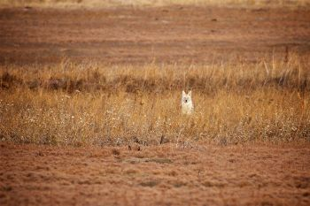 A coyote in his winter coat resting in some tall grass between prairie dog towns at Badlands National Park.