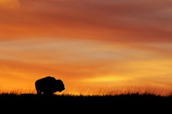 A lone bison bull against a western Minnehaha County sunset.