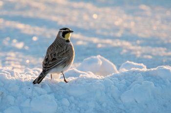 A horned lark on the edge of town seemingly unaffected by the brutal weather.