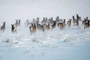 White-tail deer fleeing in haste from the photographer and into the winter wonderland.