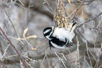 Hairy woodpecker working hard to get its lunch.