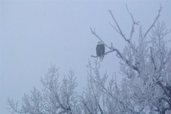 A bald eagle blends into the fog above Corn Crick south of Isabel.