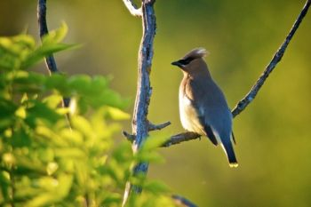 Cedar waxwing at the Dells.