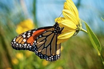 The Coteau Hills ponds and potholes produce many wildflowers that fuel migrating Monarch butterflies as they move through the state in late August.