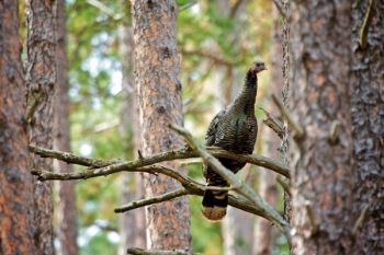 A roosting wild turkey hen along a trail on the Hogback.