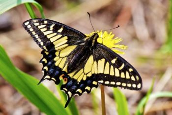 An Eastern Swallowtail butterfly dining on a dandelion on the top of the Hogback.