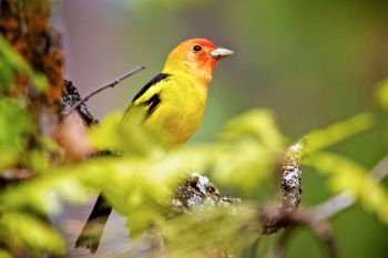 A colorful Western Tanager flew up close to me while hiking. I'm assuming he just wanted his portrait taken. I obliged.