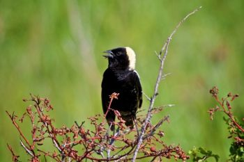 A Bobolink singing in the sun.