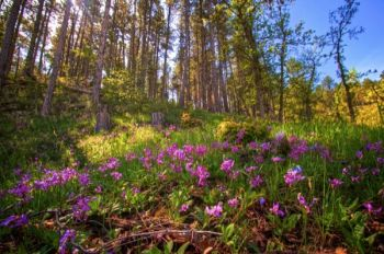 Shooting Star flowers in the dappled light of late afternoon along a trail on the Hogback.