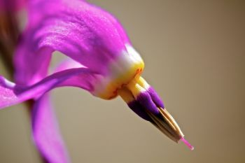 Close-up of a shooting star flower.