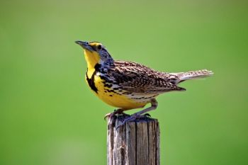 A happy meadowlark on a fencepost that borders the northern portion of the recreation area.