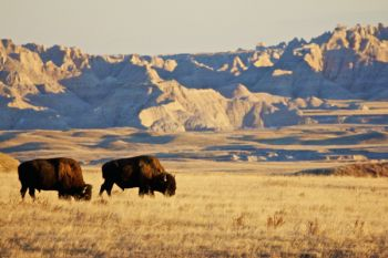 Grazing bison bulls in Sage Creek Wilderness Area.