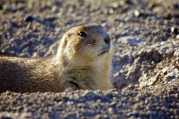 Prairie Dog portrait.