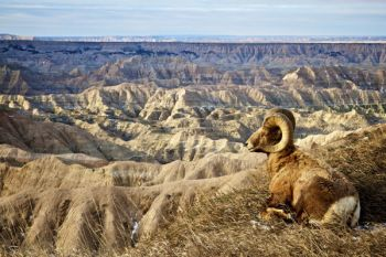 Badlands bighorn at rest with a quite a view.