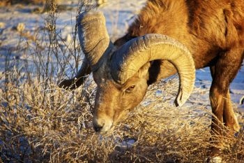Thistle provides an early morning snack for this bighorn ram.