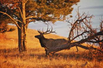 Morning elk at Wind Cave National Park.
