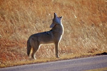 A lone coyote howls along the highway in Wind Cave National Park.