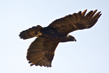 A golden eagle in flight near Cherry Creek along Highway 63.