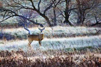 A mid-sized white-tail buck just south of my hometown of Isabel, South Dakota.