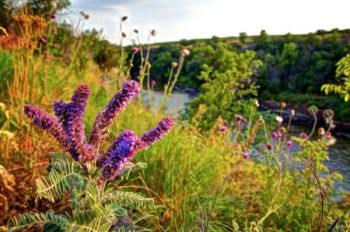 Blooming leadplant along the Dells of the Big Sioux near Dell Rapids.
