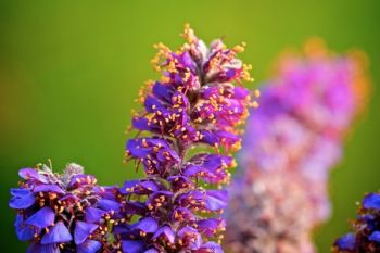 A close-up of the leadplant flower.