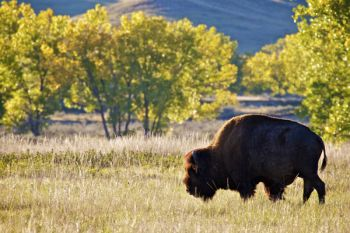 A bison bull grazing in the Sage Creek valley