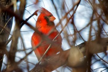 A male northern cardinal through the twigs of his favorite tree at Farm Island.