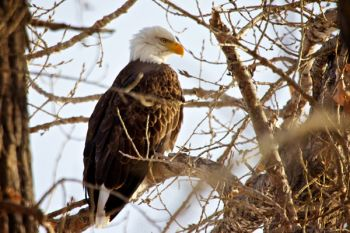A bald eagle surveys the waters of the Oahe Downstream area near Pierre.