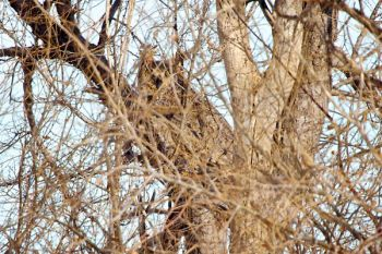 Can you spot the great horned owl through the twigs? Taken in Dewey County.
