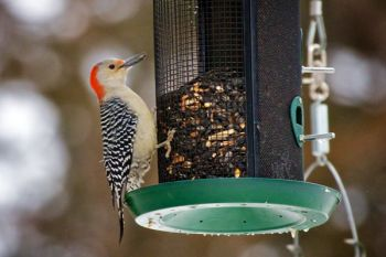 A red-bellied woodpecker at the feeder at Good Earth State Park.
