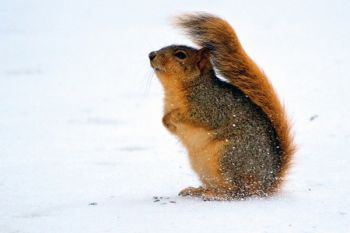 This squirrel used his bushy tail as a windbreak at Good Earth State Park.