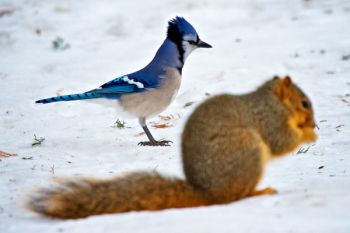 A blue jay appears jealous while the squirrel enjoys breakfast.