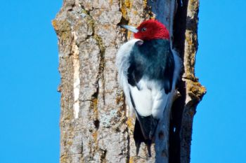 A red-headed woodpecker at Newton Hills State Park. This species is considered 'near endangered.' Numbers have declined dramatically in the last 50 years.