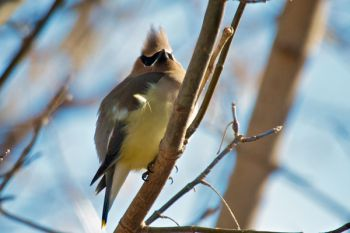 A cedar waxwing puffs up against the cold breeze at Newton Hills.