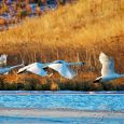 Trumpeter swans take flight at LaCreek National Wildlife Refuge near Martin.
